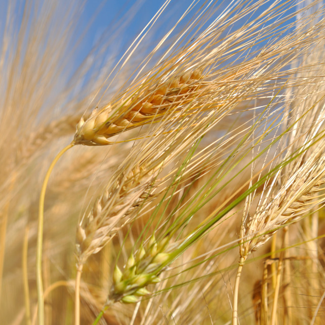 """closeup on wheat"" stock image"