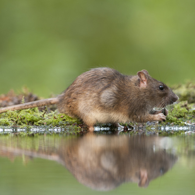 """Bruine rat; Brown rat; Rattus norvegicus"" stock image"
