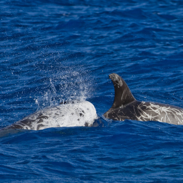 """""""Gramper, Risso's dolphin, Grampus griseus"""" stock image"""
