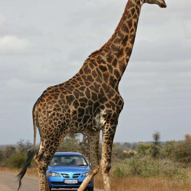 """""""Giraffe, Southern Giraffe, Giraffa camelopardalis giraffa"""" stock image"""