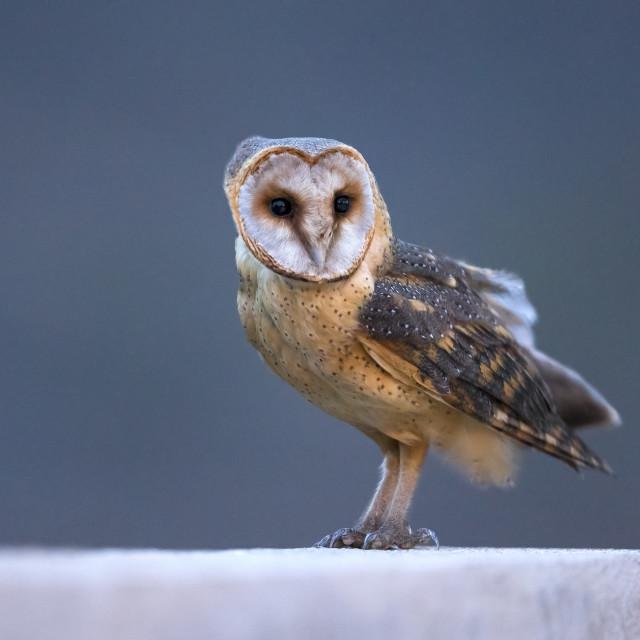 """""""Kaapverdische Kerkuil; Cape Verde Barn Owl; Tyto alba detorta"""" stock image"""