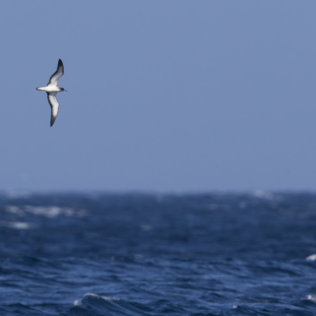 """Kaapverdische Pijlstormvogel; Cape Verde Shearwater; Calonectris edwardsii;"" stock image"