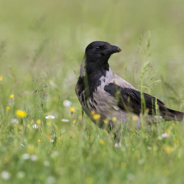 """Bonte Kraai; Hooded Crow; Corvus cornix"" stock image"