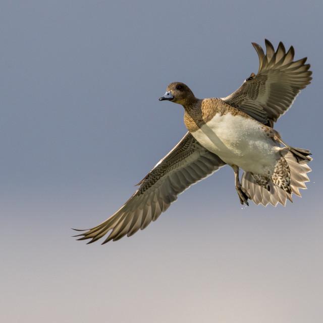 """Smient; Eurasian Wigeon; Anas penelope"" stock image"