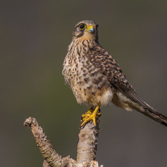 """Lesser Cape Verde Kestrel; Neglected Kestrel; Falco tinnunculus neglectus"" stock image"