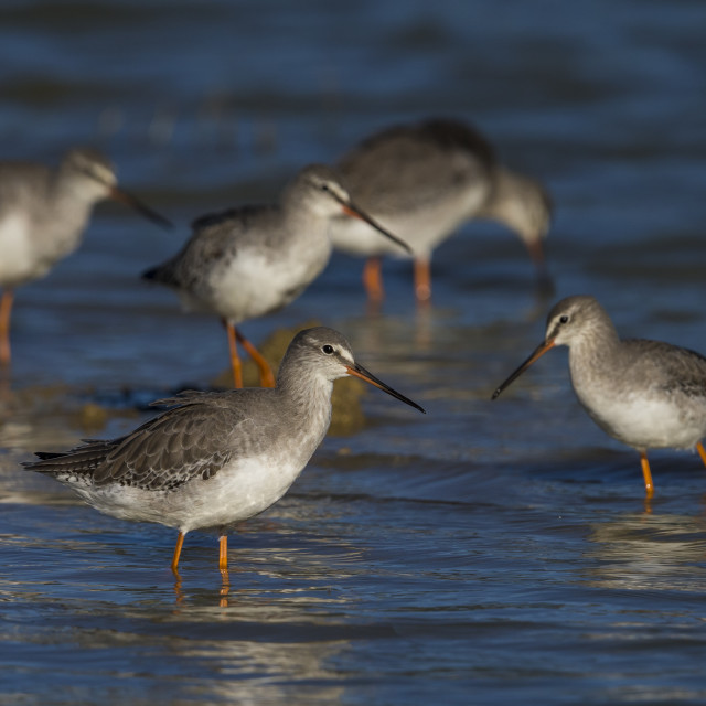 """""""Spotted Redshank"""" stock image"""