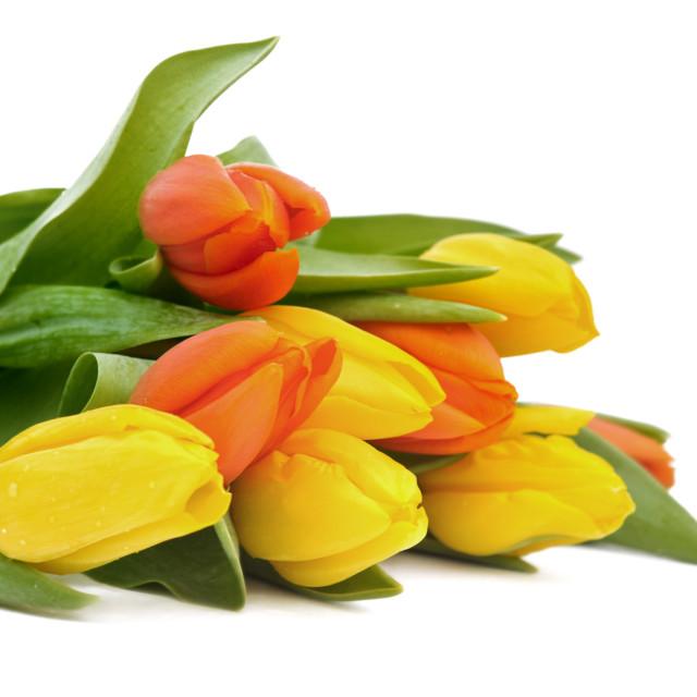 """yellow and orange tulips"" stock image"