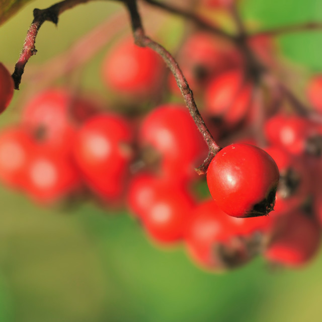"""bunch of red berries"" stock image"