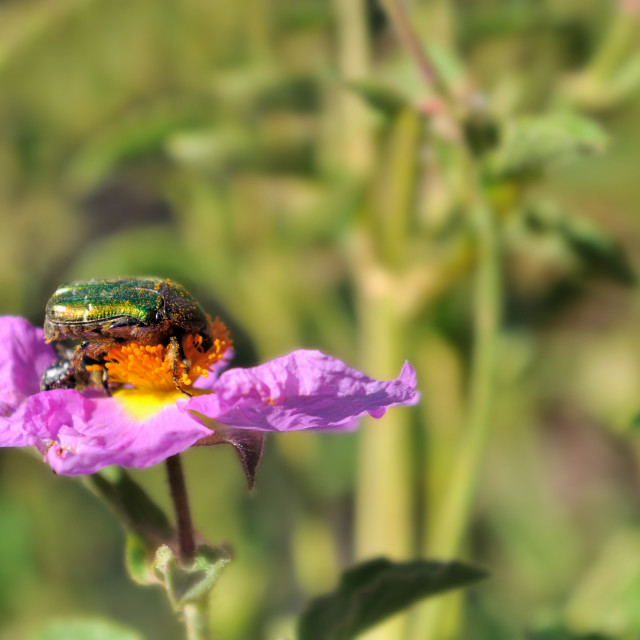 """beetle gather pollen"" stock image"