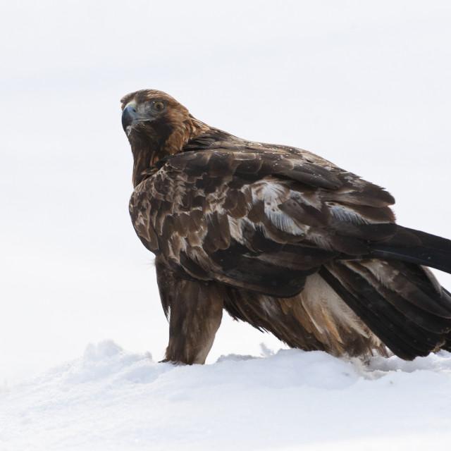 """Steenarend, Golden Eagle, Aquila chrysaetos"" stock image"
