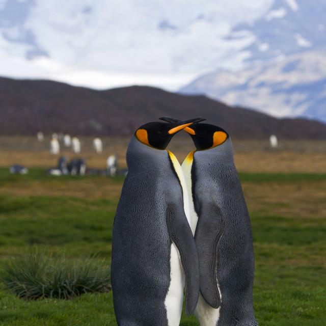 """""""Koningspinguïn, King Penguin, Aptenodytes patagonicus"""" stock image"""