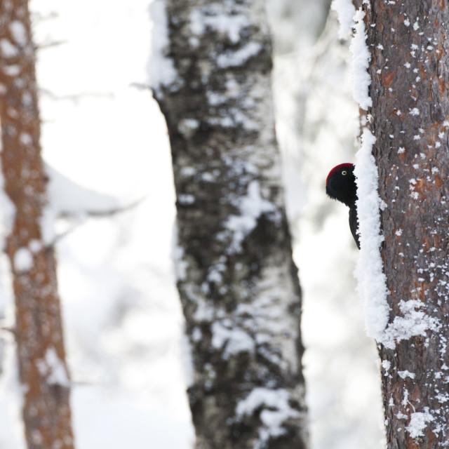 """Zwarte Specht, Black Woodpecker, Dryocopus martius"" stock image"