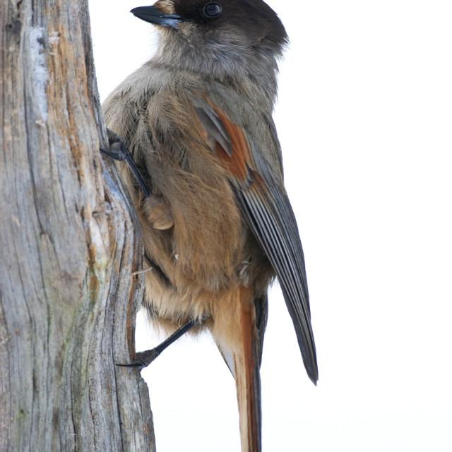 """Taigagaai, Siberian Jay, Perisoreus infaustus"" stock image"