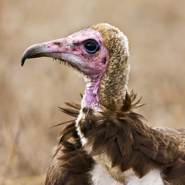 """""""Kapgier, Hooded Vulture, Necrosyrtes monachus"""" stock image"""