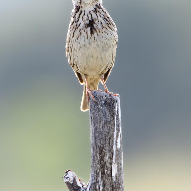 """Grauwe Gors; Corn Bunting; Emberiza calandra"" stock image"