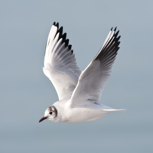 """Kokmeeuw, Common Black-headed Gull, Croicocephalus ridibundus"" stock image"