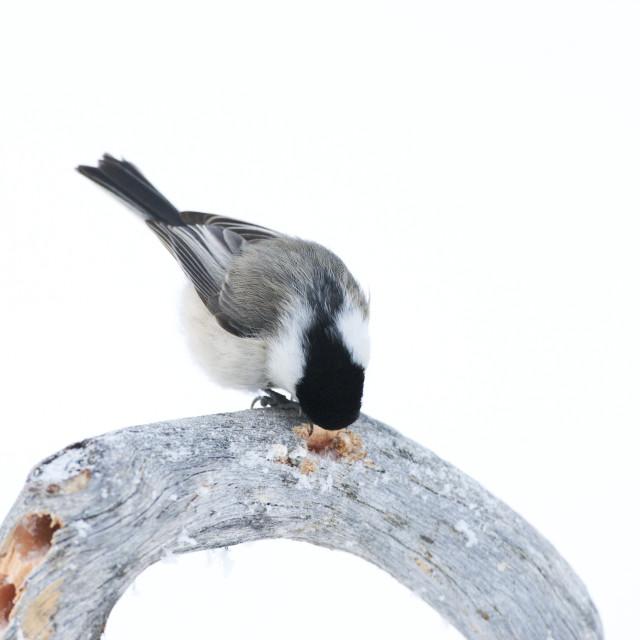 """Matkop, Willow Tit, Poecile montanus borealis"" stock image"