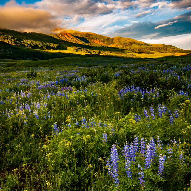 """Wildflowers of Crested Butte"" stock image"