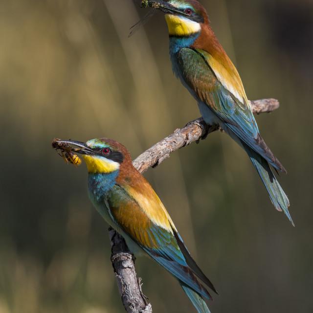 """Bijeneter, European Bee-eater, Merops apiaster"" stock image"