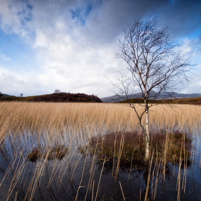 """Lone Birch Tree"" stock image"