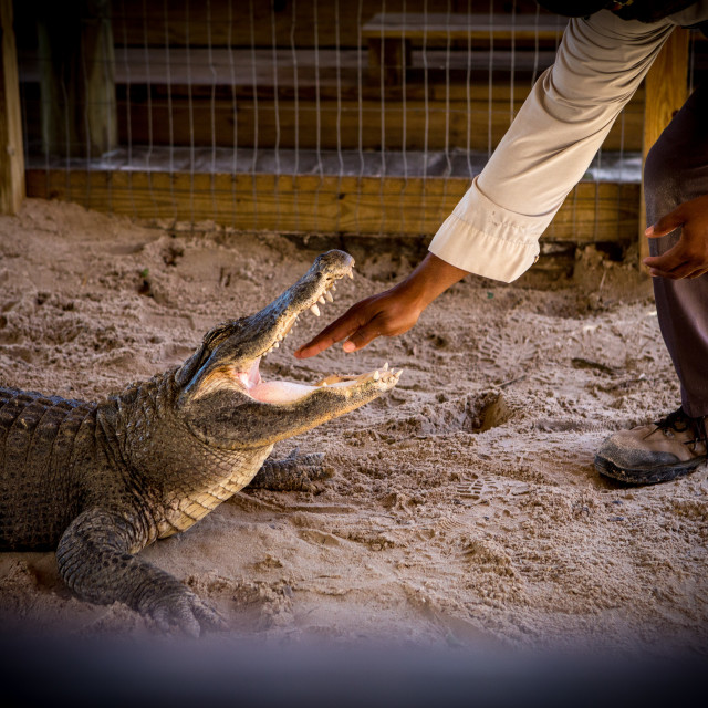 """""""Alligator open mouth with inserted man's hand"""" stock image"""