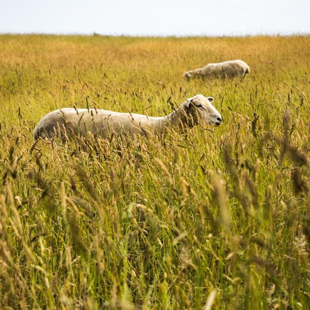 """Sheep in Chilmark"" stock image"