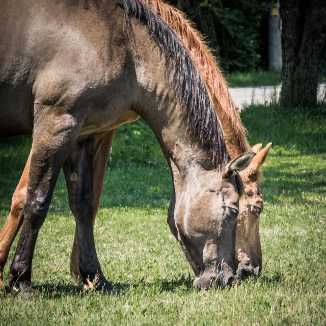 """Horses in Chilmark"" stock image"