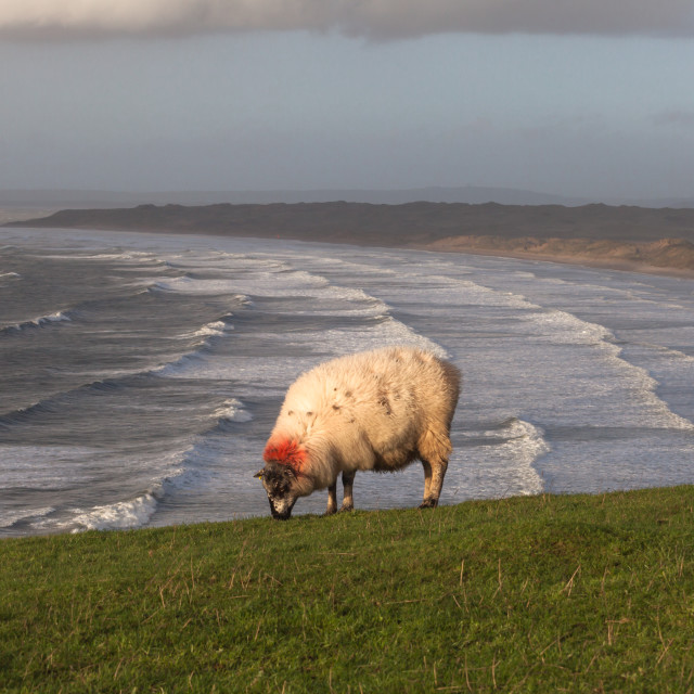 """Sheep at Rhossili Bay"" stock image"