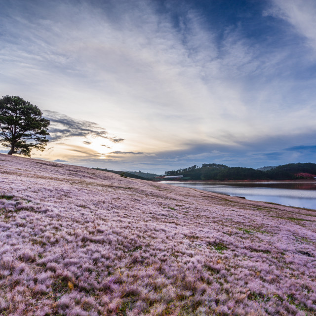 """Pink Grass in Da Lat City - Vietnam"" stock image"