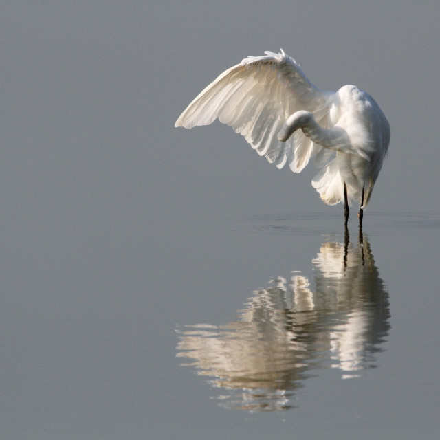 """Grote Zilverreiger, Great Egret, Ardea alba"" stock image"