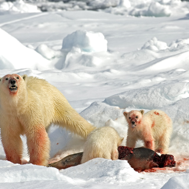 """Polar Bear with cubs and Seal"" stock image"