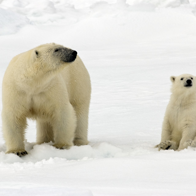"""Polar Bear with cub"" stock image"