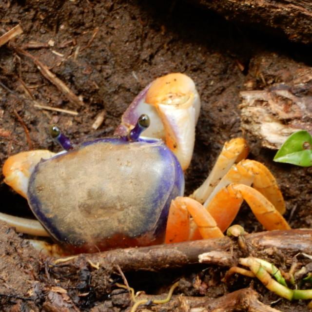 """Orange and purple crab"" stock image"