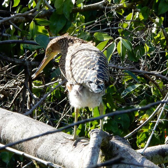"""Tiger Heron bird"" stock image"
