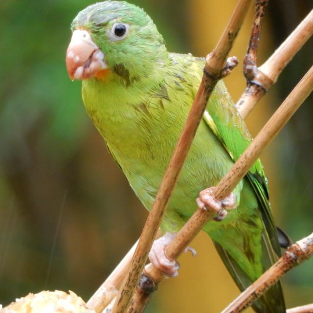"""""""Parakeet"""" stock image"""