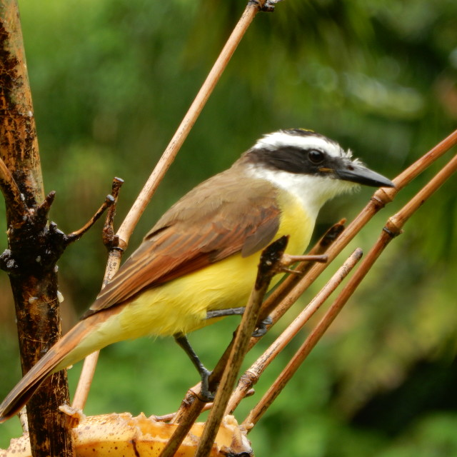 """Kiskadee bird"" stock image"