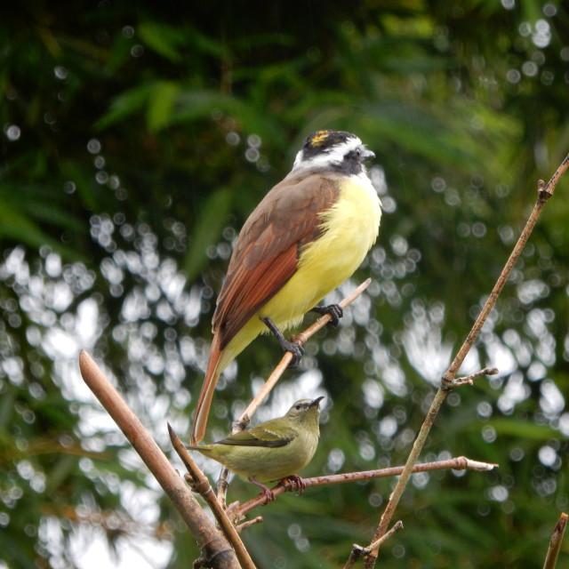 """Costa rican Kiskadee wildlife bird"" stock image"