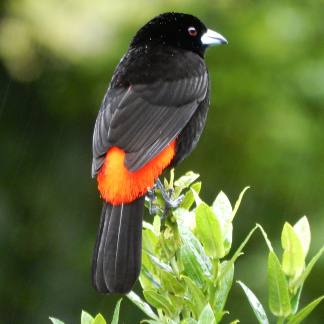 """Cherrie Tanager bird"" stock image"