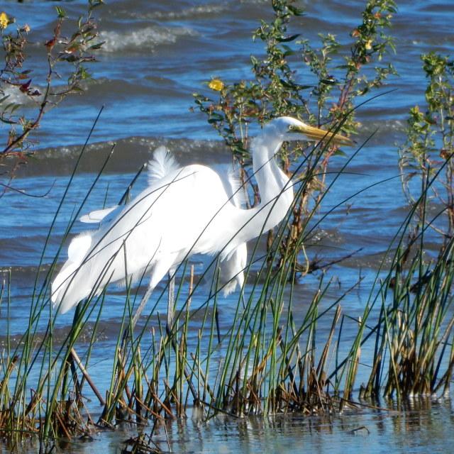 """Snowy Egret bird"" stock image"