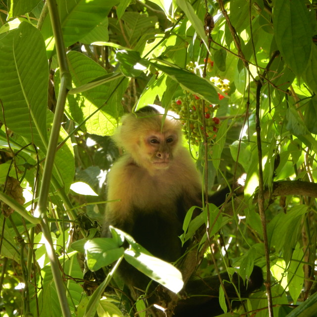"""Capuchin monkey"" stock image"
