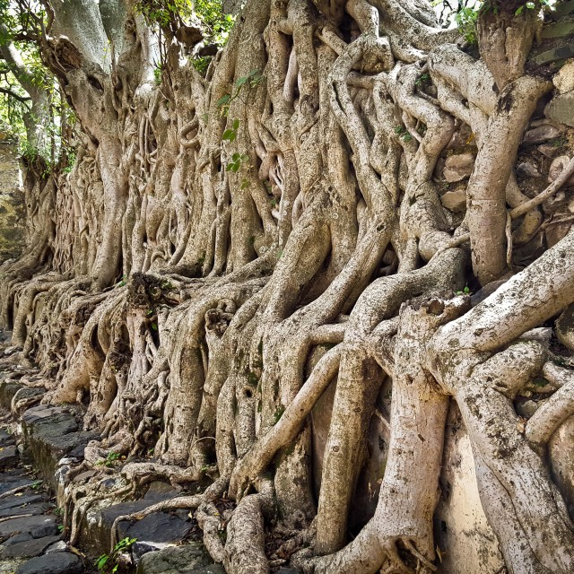 """Tree roots engulf ruins, Ethiopia"" stock image"