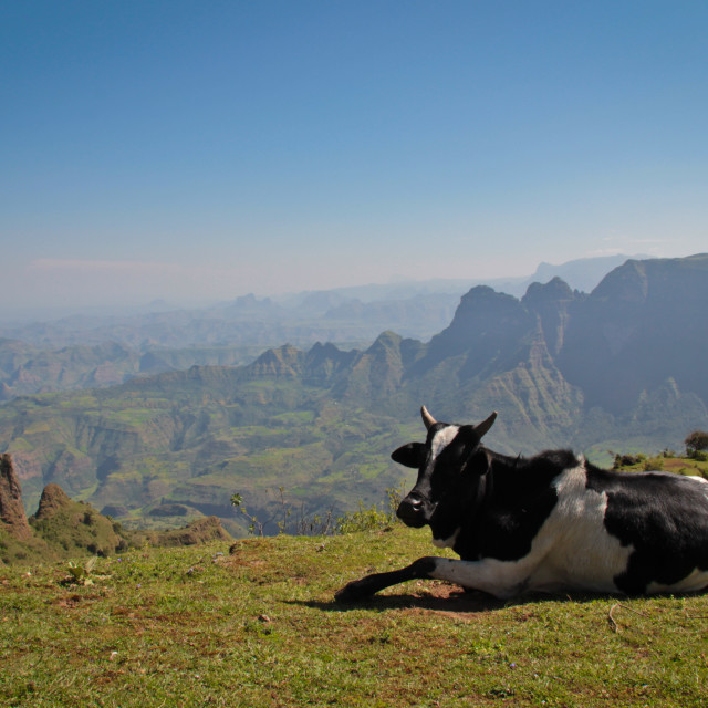 """A cow in the Simien Mountains, Ethiopia"" stock image"