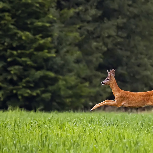 """Buck deer on the run in the wild"" stock image"