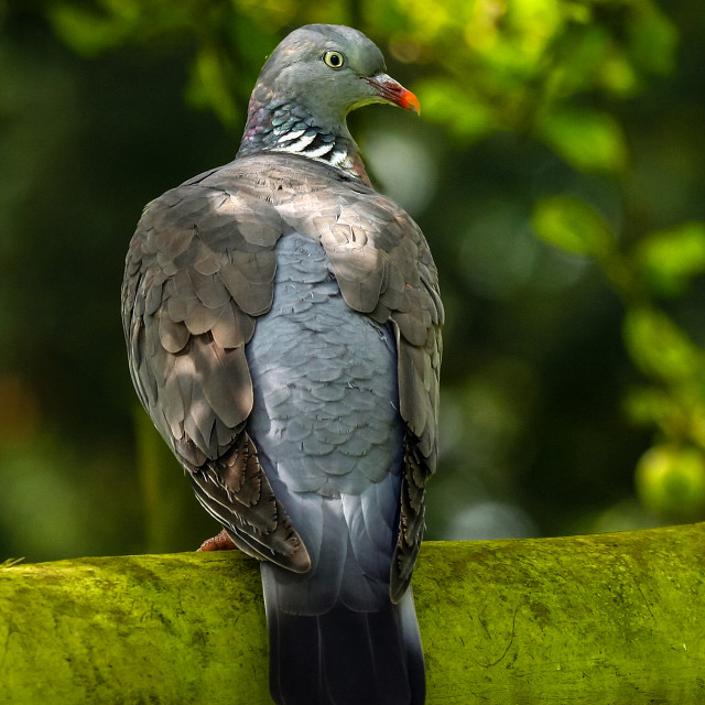 """Woodpigeon"" stock image"