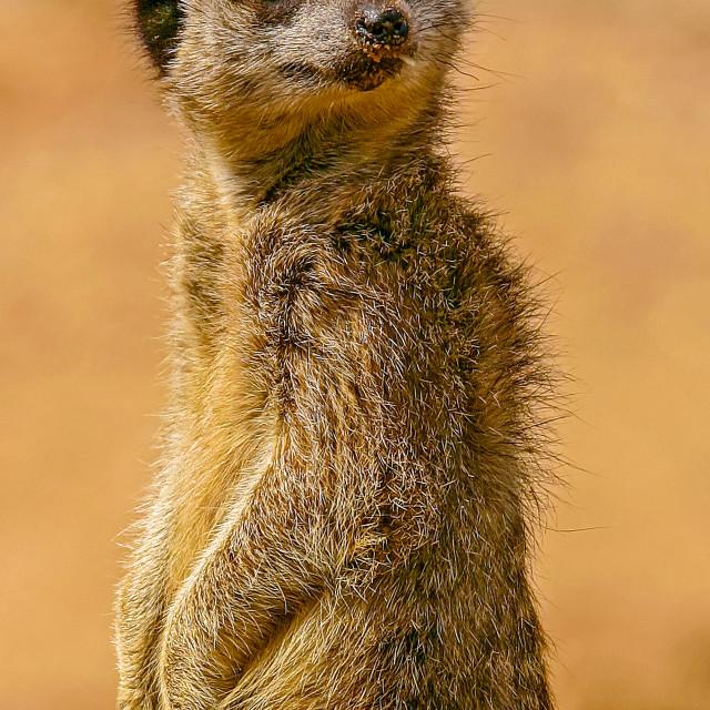 """Meerkat on duty"" stock image"