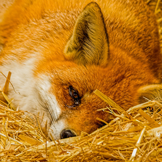 """Red Fox in the straw"" stock image"