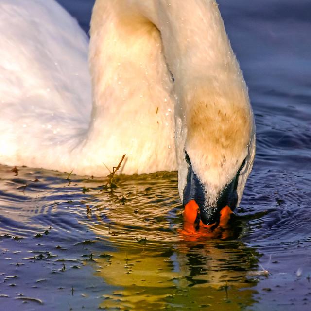 """Mute Swan feeding"" stock image"