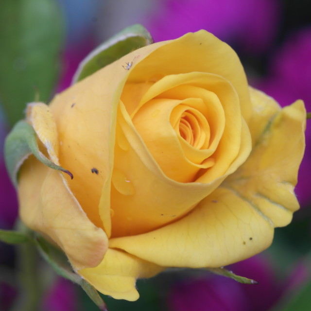 """""""Delicate Rose in Mellow Yellow"""" stock image"""