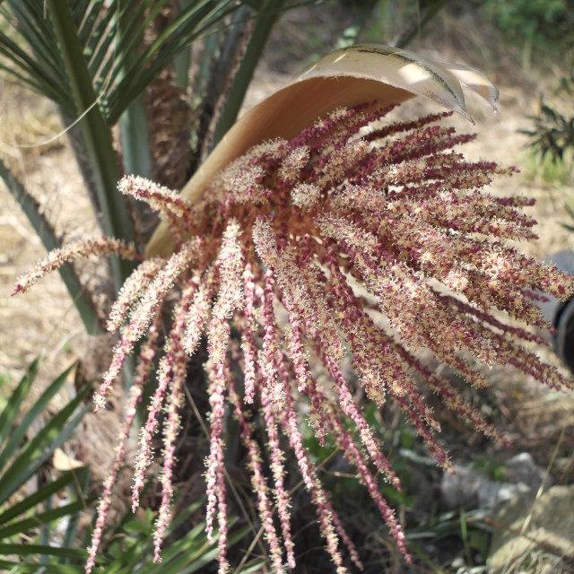 """""""Butia Palm Tree Flower"""" stock image"""