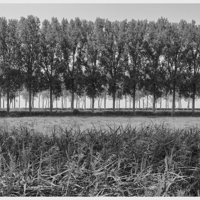 """Antwerp Poplars"" stock image"
